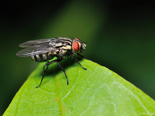 A fly used for recruitment